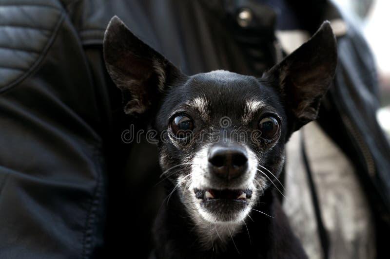 O cão preto com olhos grandes olha na câmera fotografia de stock royalty free