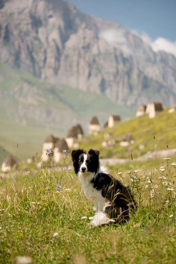 O cão preto e branco bonito border collie senta-se em um campo na montanha e no olhar in camera na neve branca do fundo imagens de stock royalty free