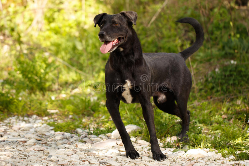 O cão preto engraçado está na grama exterior imagem de stock