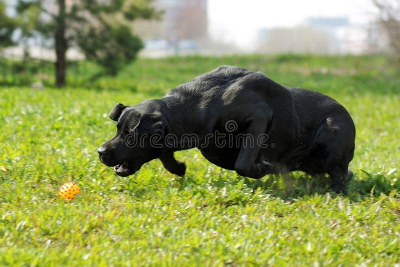 O cão preto labrador retriever joga no verão com a bola fotos de stock royalty free