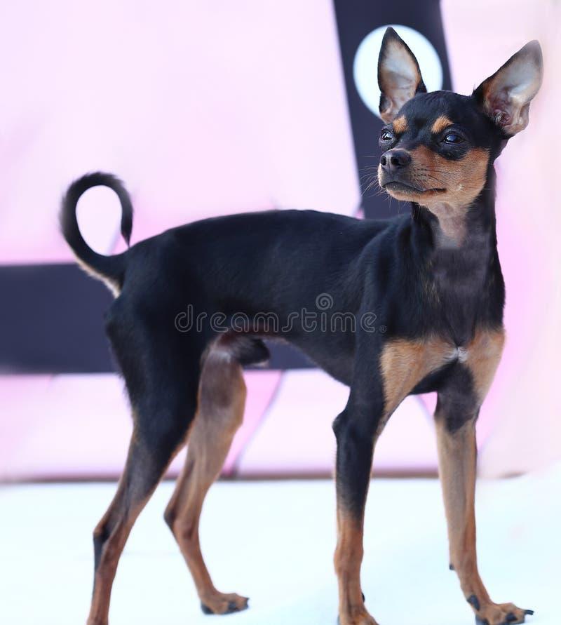 O cão preto pequeno engraçado do puro-sangue anda na jarda fotografia de stock