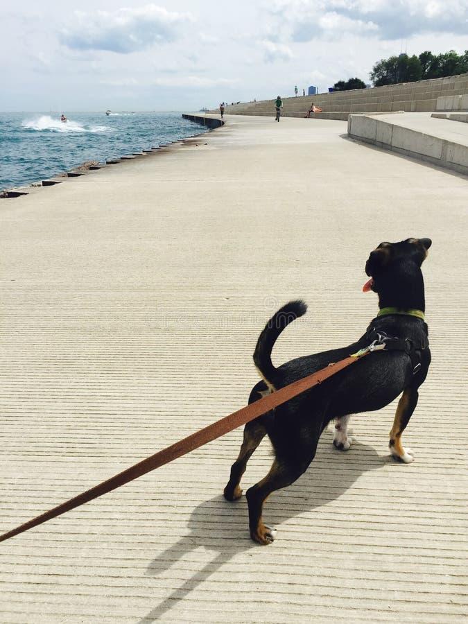 O cão preto puxa na trela no riverwalk do Lago Michigan fotografia de stock