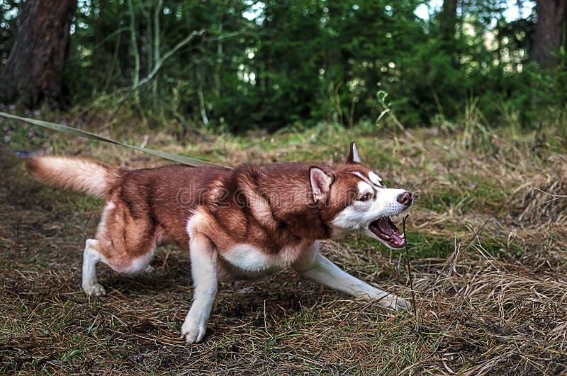 O cão puxa a trela e fotos de stock