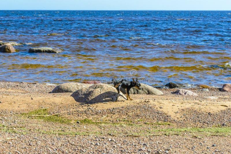 O c?o que corre ao redor perto do mar, levantou seu p? e marcou uma das grandes pedras, descreveu a pedra, marcada fotos de stock