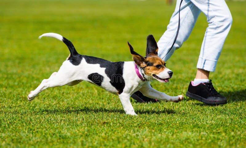O cão que corre em uma caminhada com uma mulher r fotos de stock