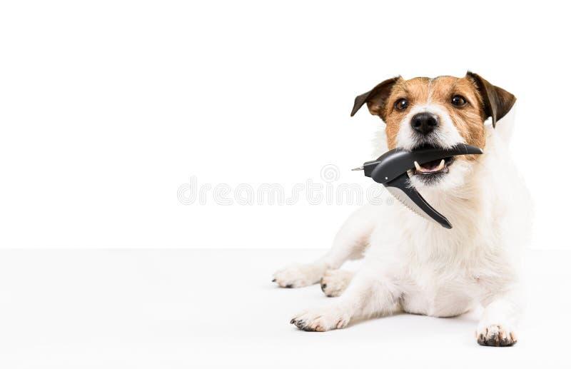 O cão que guarda a tosquiadeira de prego na boca precisa a aparagem dos pregos fotografia de stock royalty free