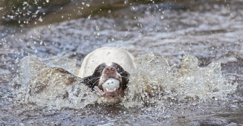 O cão que salta na água foto de stock royalty free