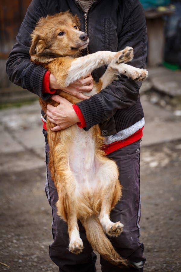 O cão redheaded infeliz Cão da rua nas mãos de uma mulher fotos de stock