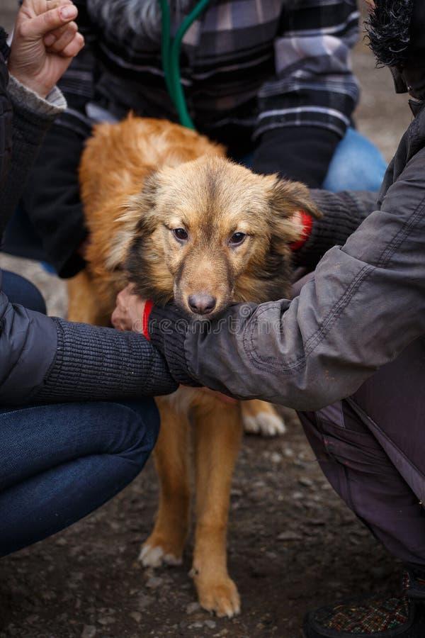 O cão redheaded infeliz Cão da rua nas mãos de uma mulher foto de stock