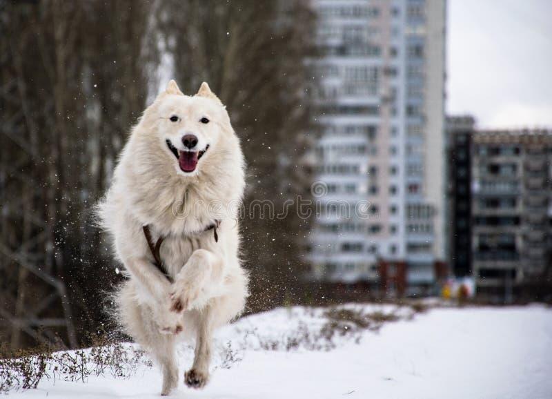 O cão ronco branco corre sua língua para fora em um dia de inverno ensolarado imagens de stock royalty free