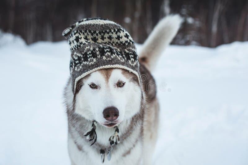O cão ronco engraçado está no chapéu de lãs O retrato do close-up do cão de puxar trenós siberian da raça bonita do cão está na n foto de stock