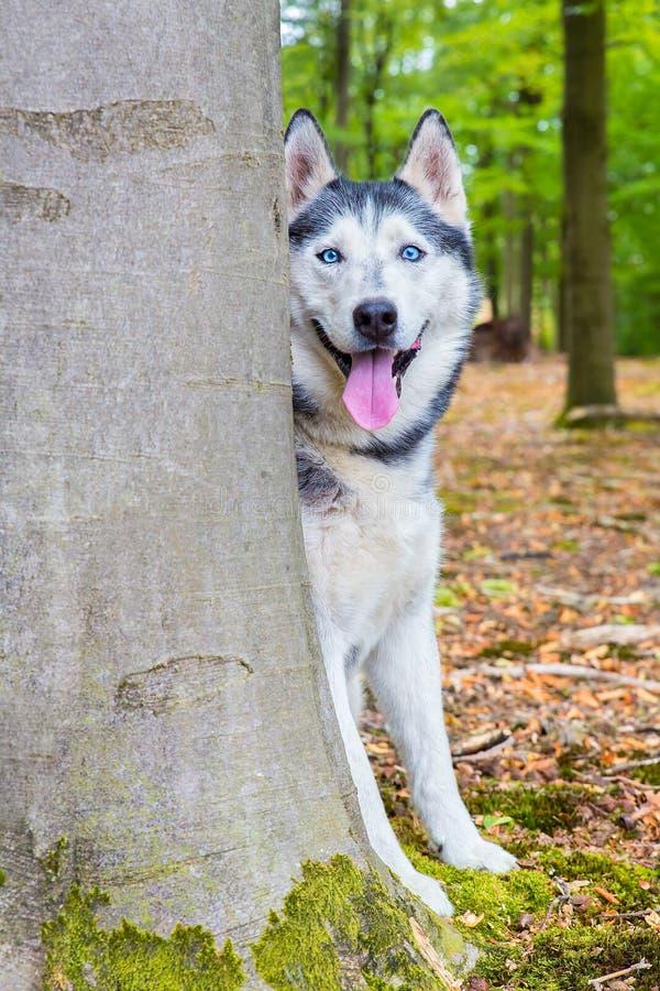 O cão ronco olha do tronco de árvore de trás foto de stock royalty free