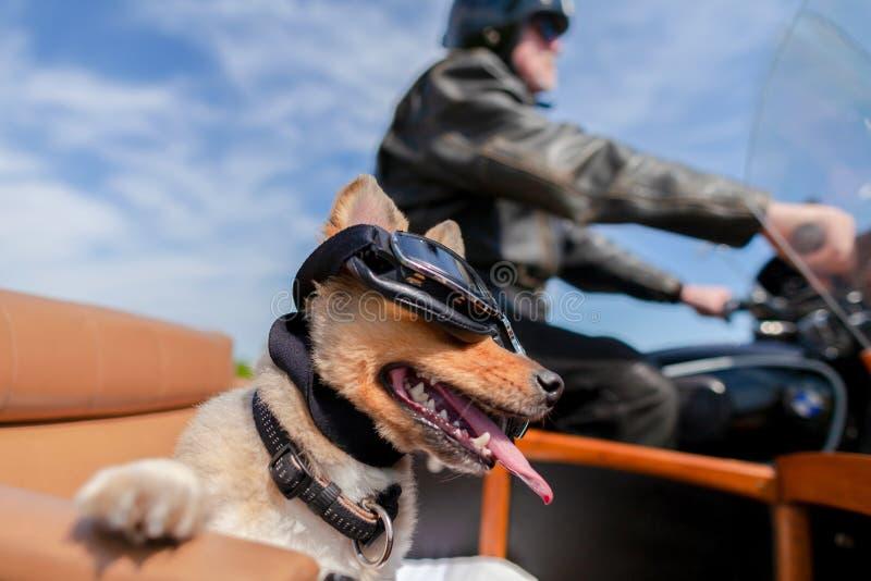 O cão senta-se com óculos de sol em um side-car da motocicleta fotos de stock