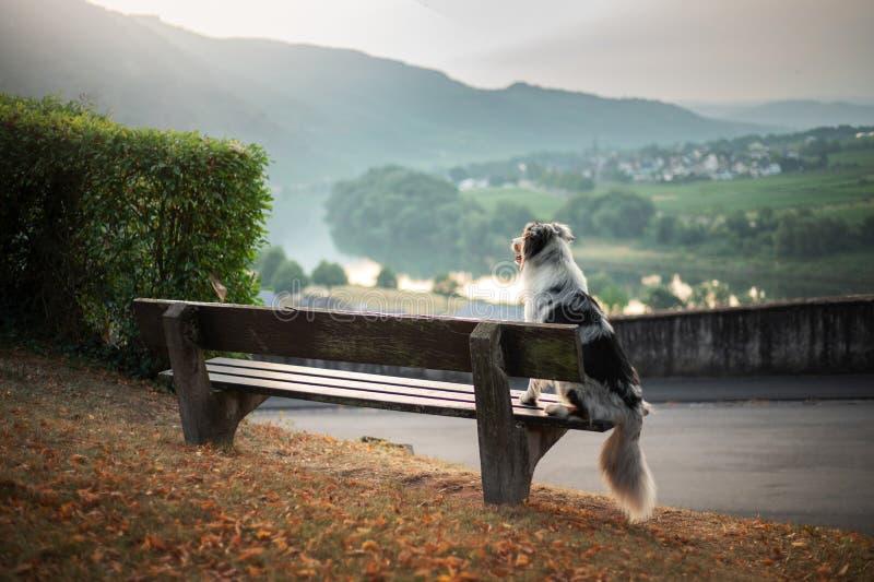 O cão senta-se em um banco e em olhares no alvorecer Pastor australiano de mármore na natureza caminhada fotos de stock royalty free