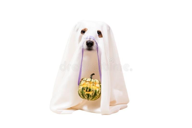 O cão sob a cobertura como o fantasma engraçado de Dia das Bruxas que guarda a lanterna do ` de Jack o cinzelou a abóbora imagem de stock royalty free