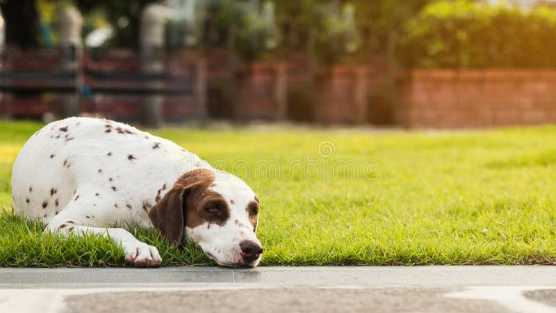 O cão sonolento preguiçoso está encontrando-se para baixo no gramado fotos de stock royalty free