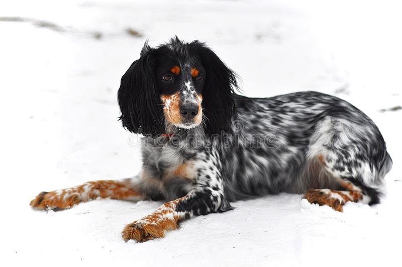 O cão tricolor fotografia de stock royalty free