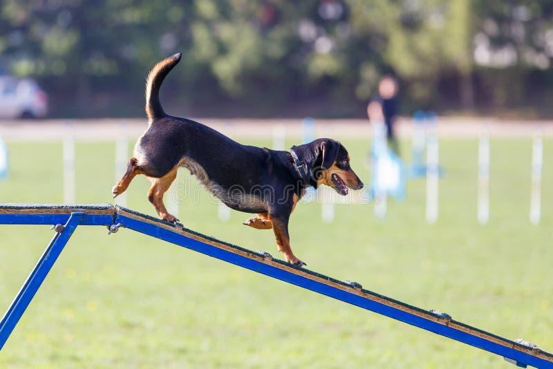 O cão vai para baixo no obstáculo da caminhada do cão na experimentação da agilidade foto de stock