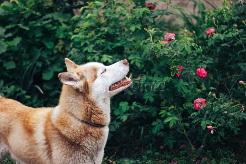 O cão vermelho ronco aspira rosas no jardim fotografia de stock royalty free