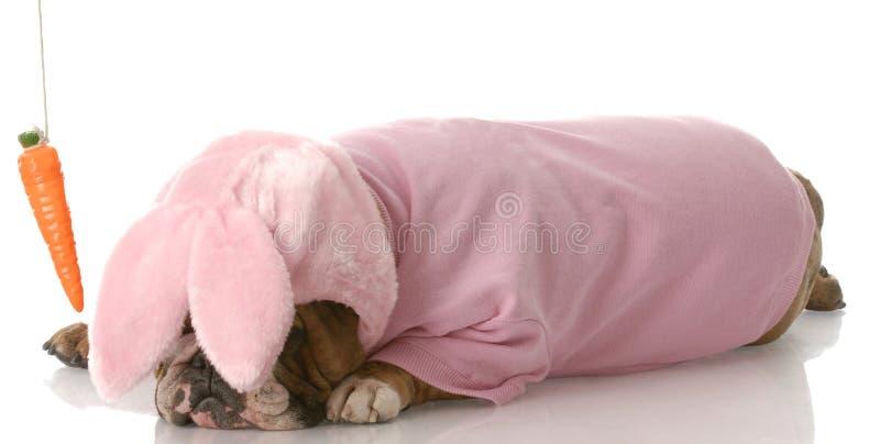 O cão vestiu-se acima como um coelho com a cenoura na corda imagem de stock