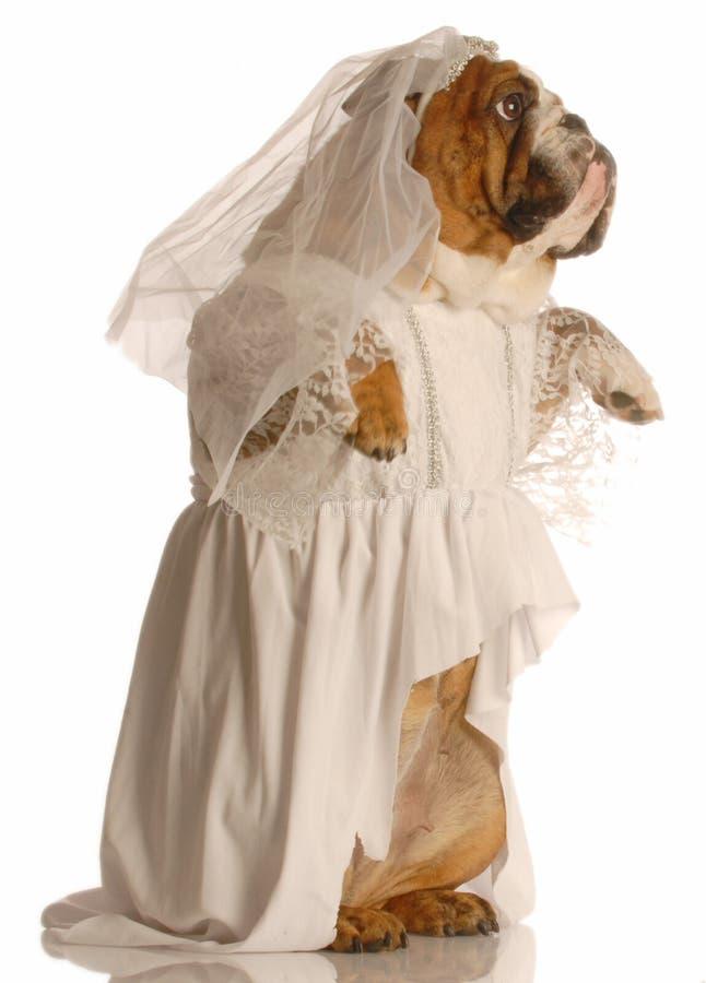 O cão vestiu-se acima como uma noiva fotografia de stock royalty free