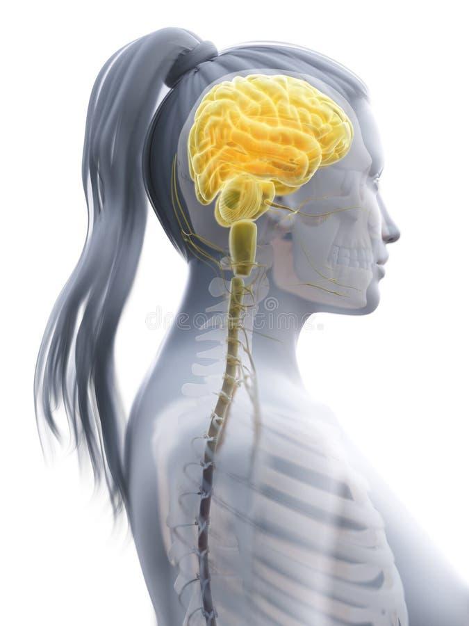 O cérebro de uma mulher ilustração do vetor