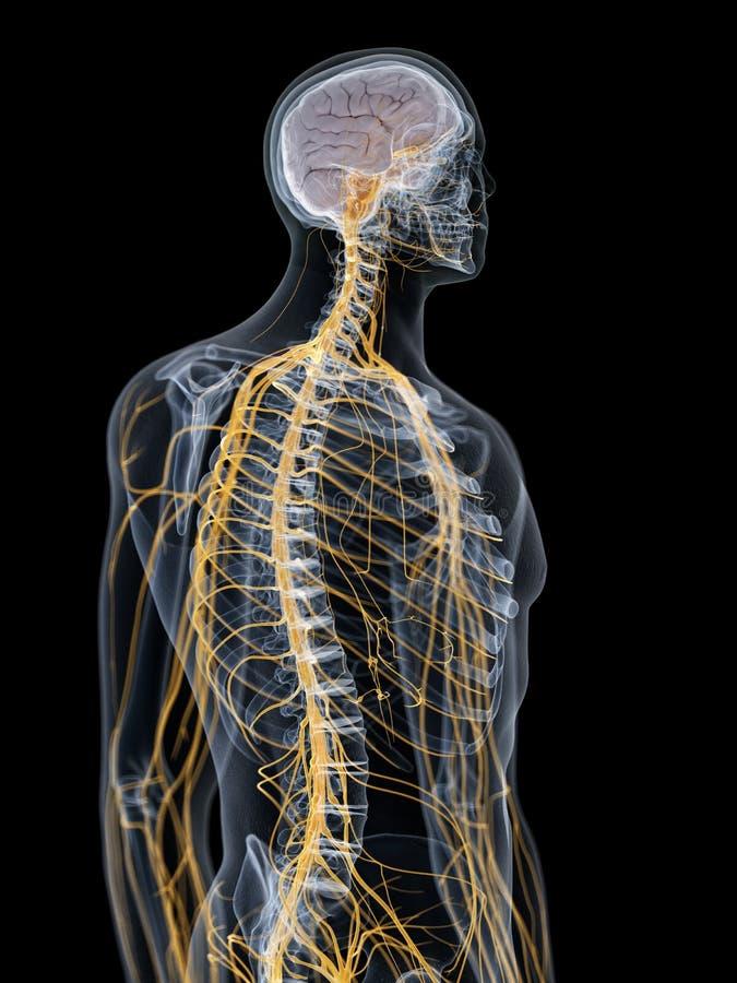 O cérebro e o sistema nervoso ilustração do vetor