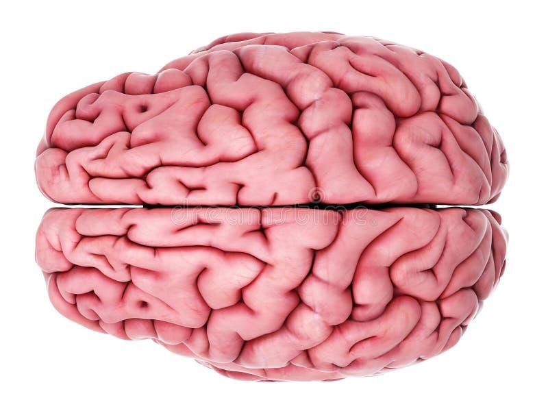 O cérebro humano ilustração royalty free