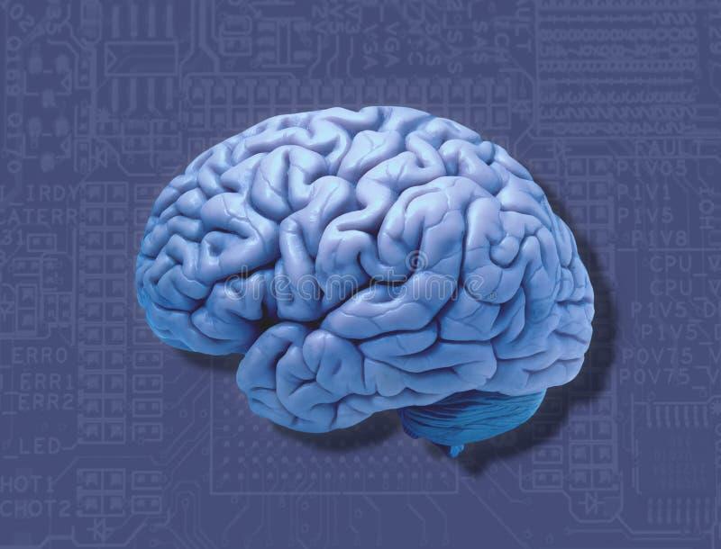 O cérebro humano e os computadores conectam fotos de stock royalty free