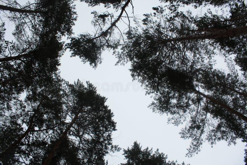 O céu, floresta, pinho, nubla, boro imagens de stock