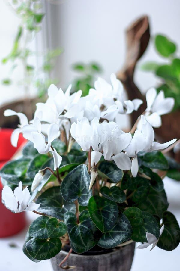 O cíclame branco bonito floresce em um potenciômetro de flor cerâmico como em casa a planta foto de stock