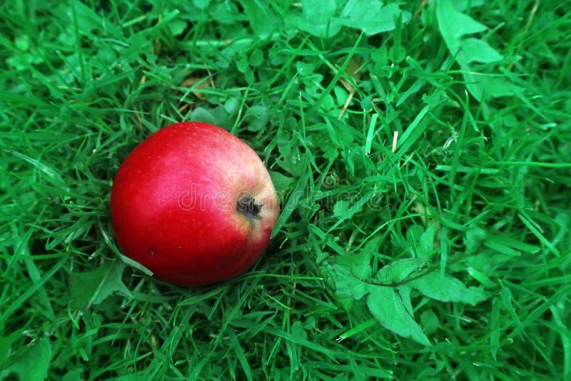 O círculo vermelho de Apple encontra-se no toave verde fotografia de stock
