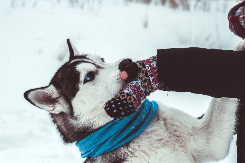 o c?o ronco d? a pata a sua senhora no passeio no parque no inverno imagens de stock