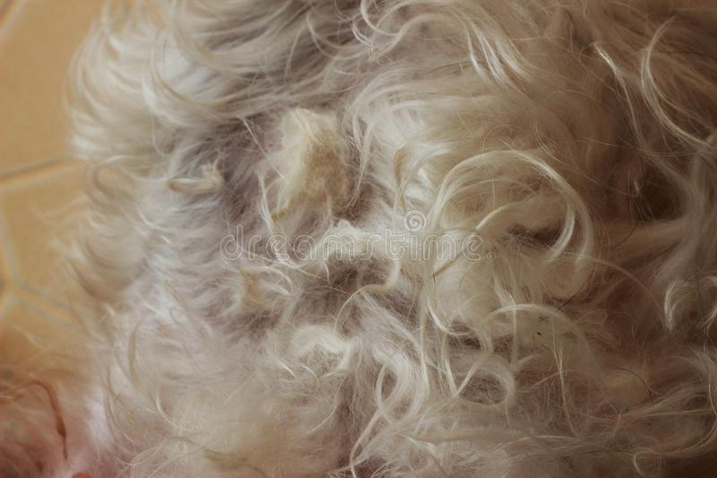 O cabelo cinzento de um cão tangled em um cão fotos de stock