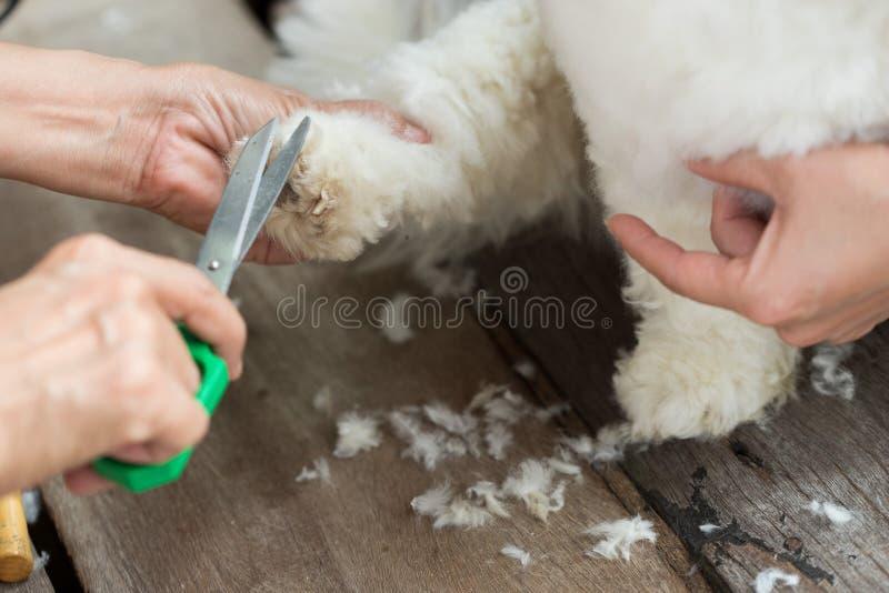 O cabelo do corte do Groomer do cão branco pequeno scissors fotos de stock
