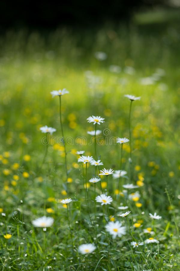 O cabo branco bonito Marguerite Daisy floresce em um prado natural com profundidade de campo rasa Fundo borrado fotos de stock