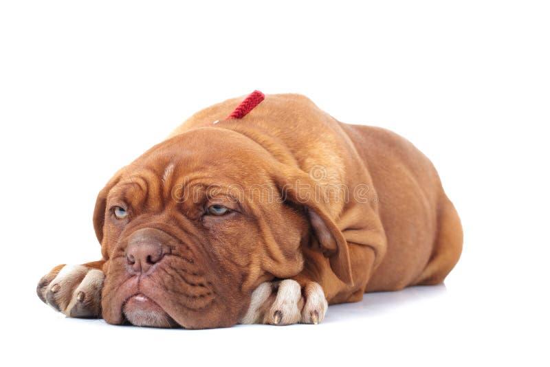 O cachorrinho adorável de dogue de Bordéus olha muito sonolento imagem de stock royalty free