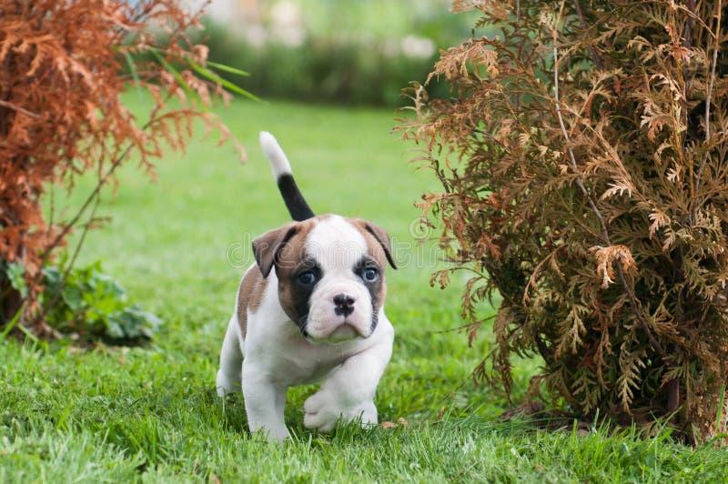 O cachorrinho americano vermelho agradável engraçado do buldogue está andando na grama imagem de stock