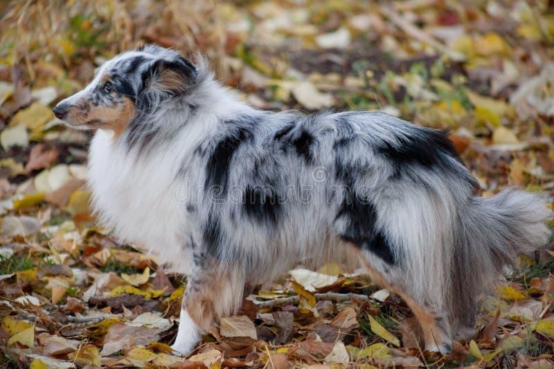 O cachorrinho azul do cão pastor de Shetland do merle está estando na folha do outono Collie ou sheltie de Shetland Animais de an imagem de stock royalty free