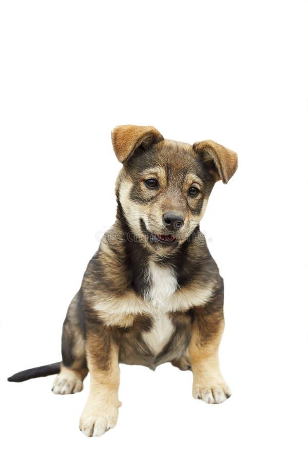 O cachorrinho bonito com uma cara engraçada em um branco isolou o fundo imagens de stock