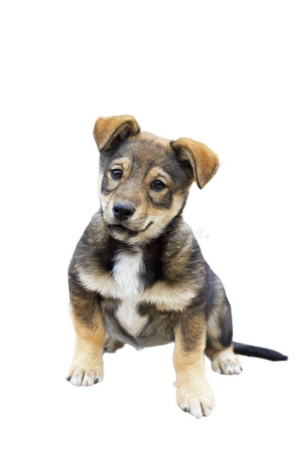 O cachorrinho bonito com uma cara engraçada em um branco isolou o fundo foto de stock