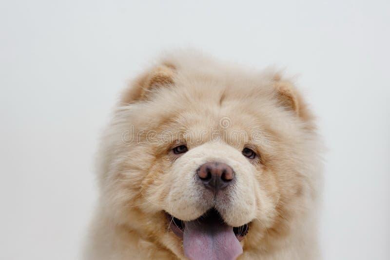 O cachorrinho bonito da comida de comida est? olhando a c?mera Isolado em um fundo branco Animais de animal de estima??o foto de stock