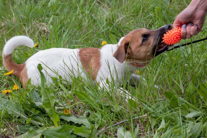 O cachorrinho bonito do terrier de russell do jaque está jogando com seu proprietário Brinquedo do cão imagens de stock royalty free