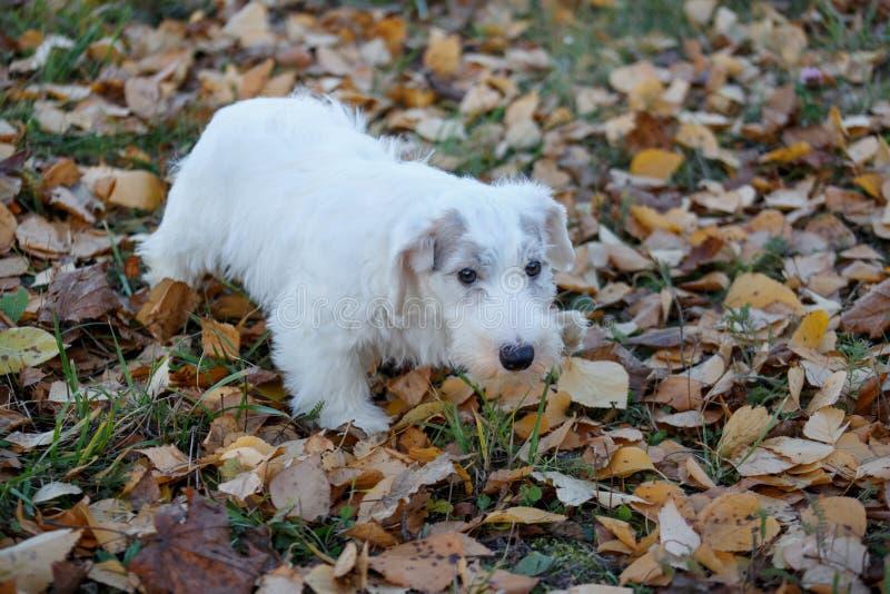 O cachorrinho bonito do terrier de sealyham está olhando a câmera Terrier de beira de Galês ou terrier do cowley Dois meses velho imagens de stock