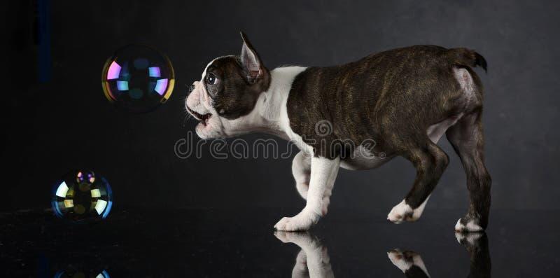 O cachorrinho Boston Terrier joga com bolhas em um estúdio da foto fotografia de stock