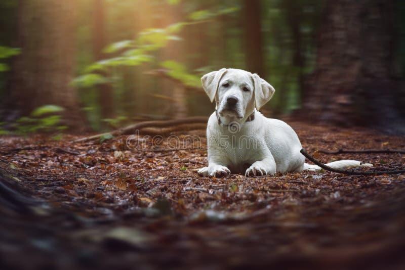 O cachorrinho branco bonito novo do cão de labrador retriever encontra-se com base na floresta fotografia de stock
