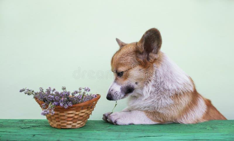 O cachorrinho com orelhas grandes vale os pés na tabela de madeira com ramalhete e na alfazema lilás na cesta e prova sua língua  imagem de stock