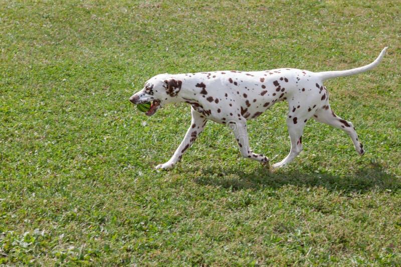 O cachorrinho dalmatian bonito está levando uma bola pequena em seus dentes Animais de animal de estimação fotos de stock royalty free