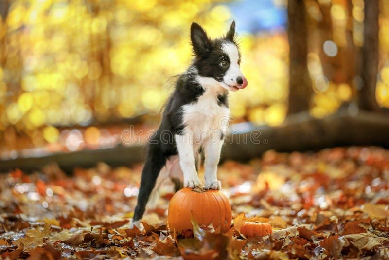 O cachorrinho de border collie fica na abóbora fotografia de stock royalty free
