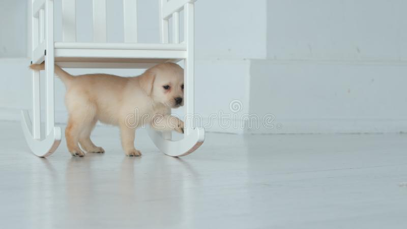 O cachorrinho de Labrador anda sob uma cadeira em uma sala branca foto de stock royalty free